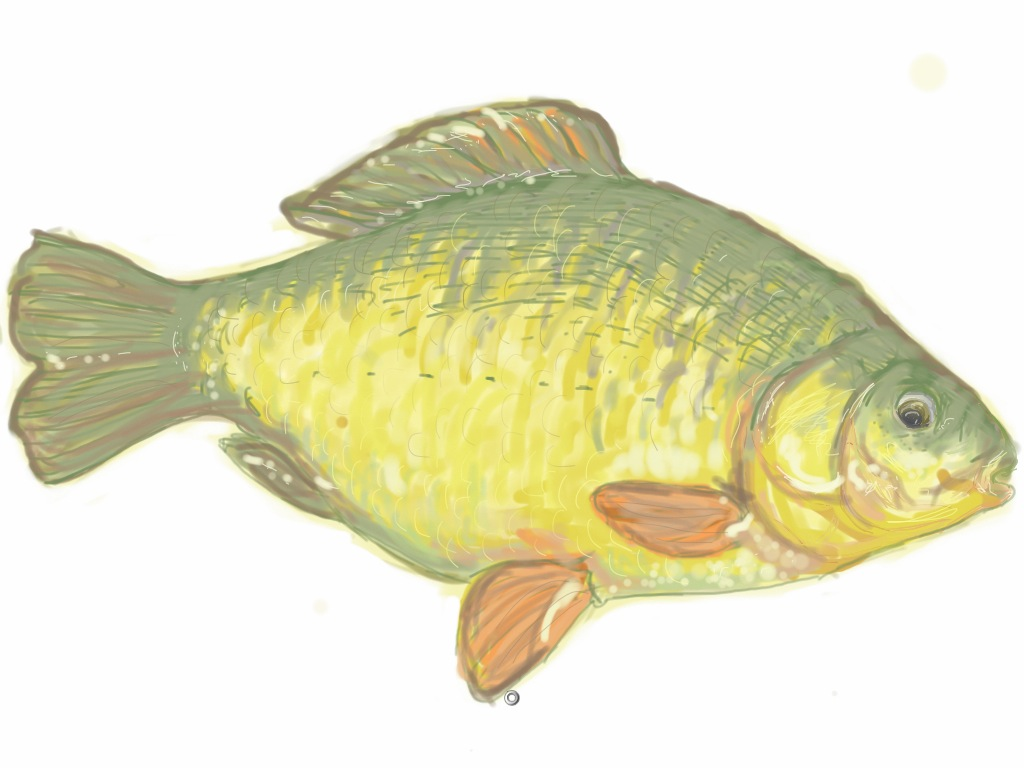 drawing of a fish using SketchBook Pro