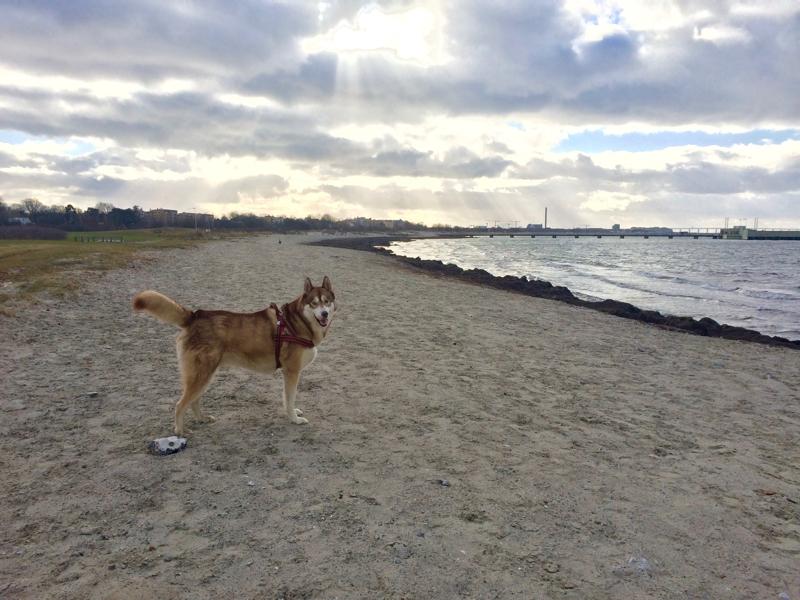 Oskar the dog on the sandy beach in Malmö