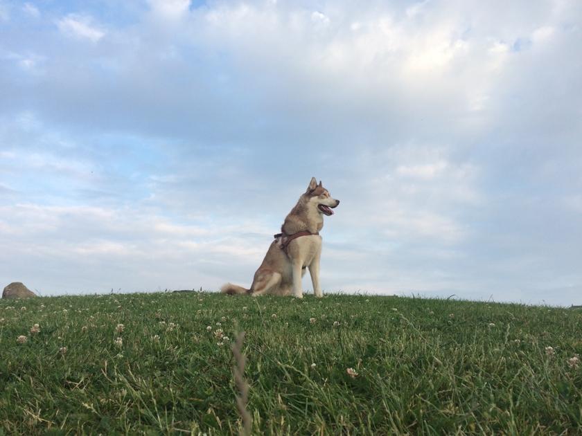 Oskar the husky dog on top of a hill