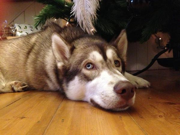 A very big Oskar under the tree at Christmas