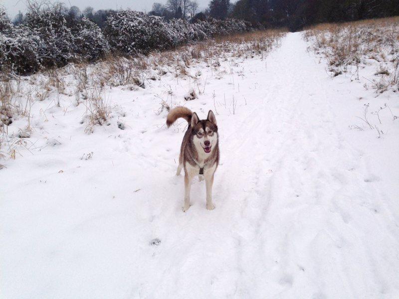 Oskar the husky-malamute cross, standing in the snow