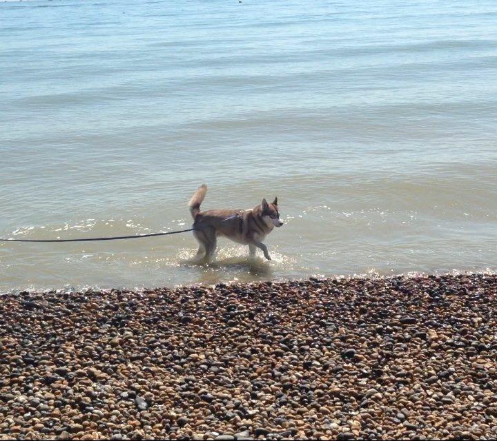 Oskar the dog in the sea