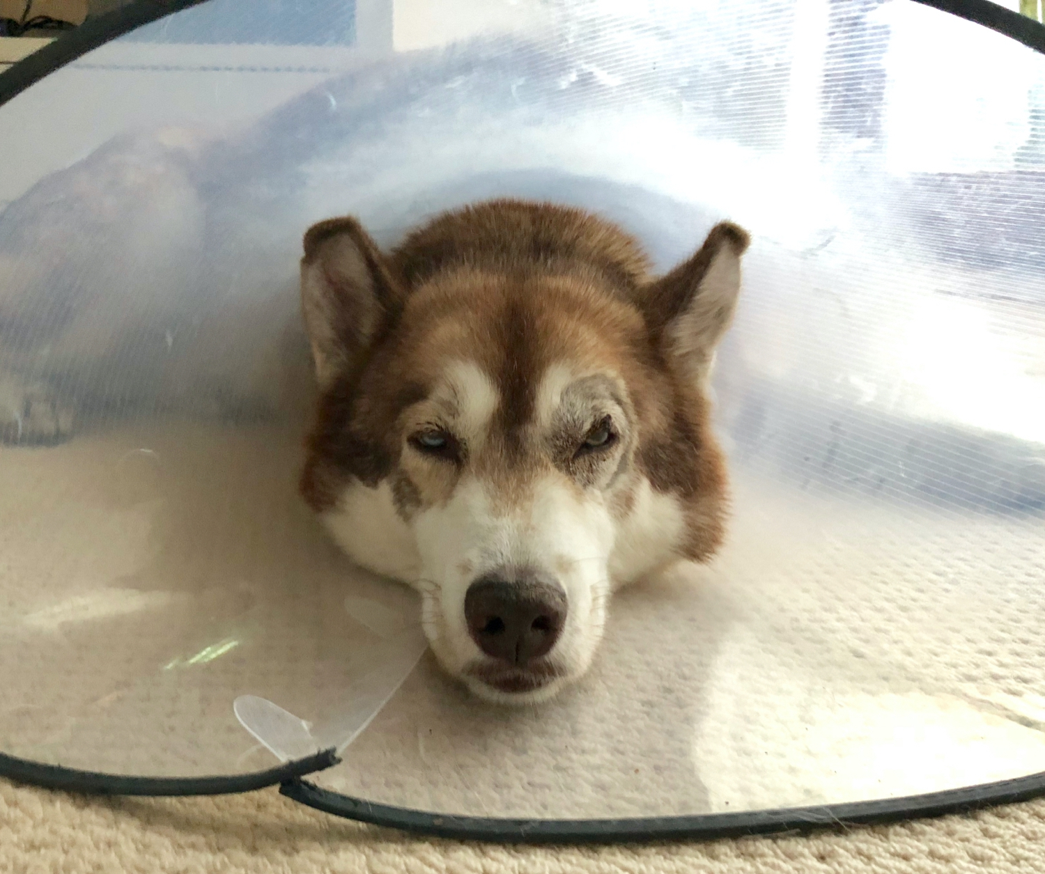 Osky looking fed up with a vet's cone around his neck. The area around his right eye is shaved with a large stitch on his right eyelid.