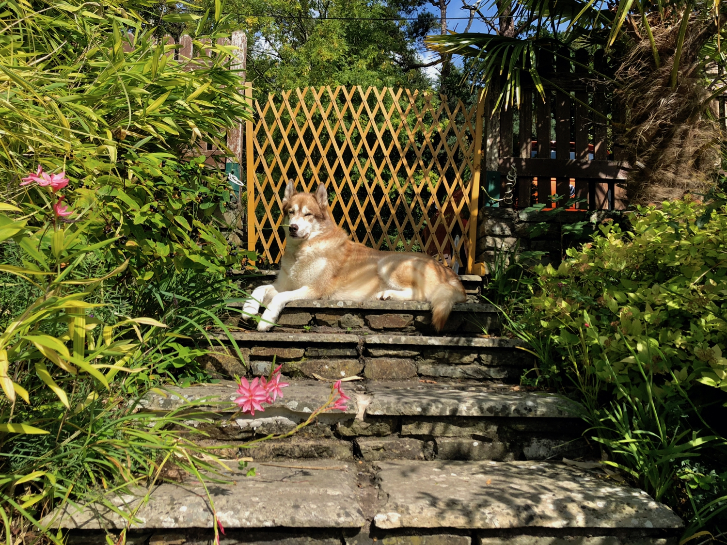 Oskar the huskamute lounging in a statuesque manner on the top of some steps, surrounded by plants and flowers.
