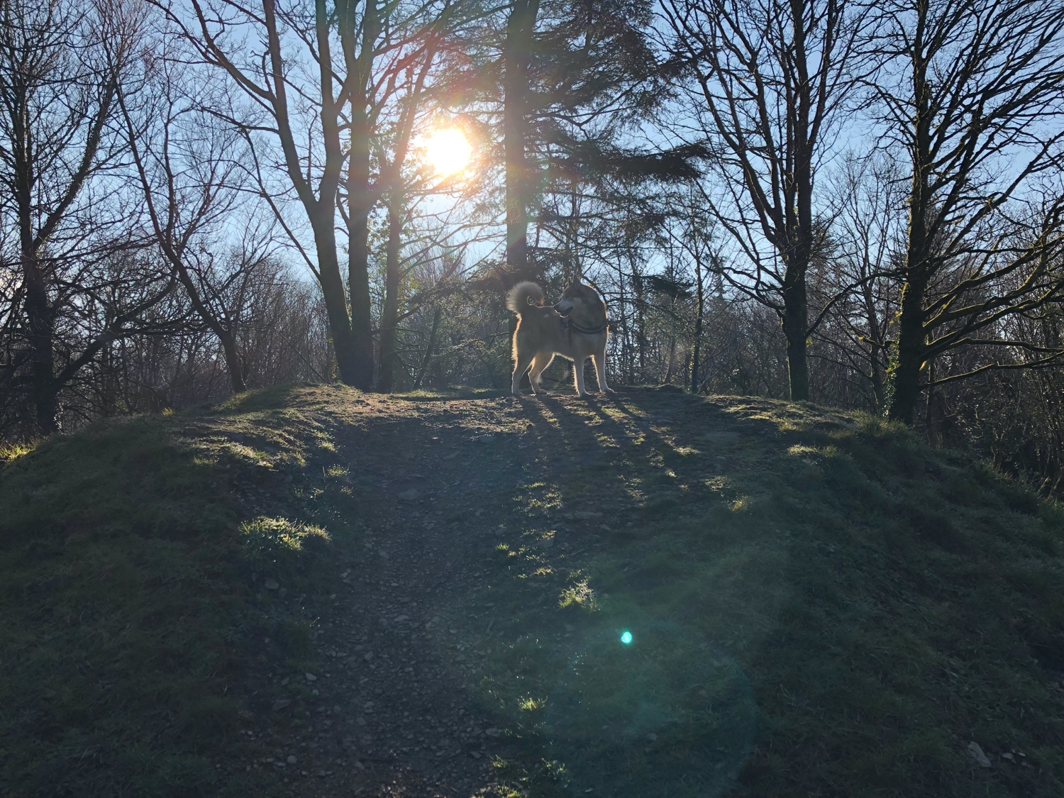 Osky on top of a mound in some sunny woods. He looks majestic.
