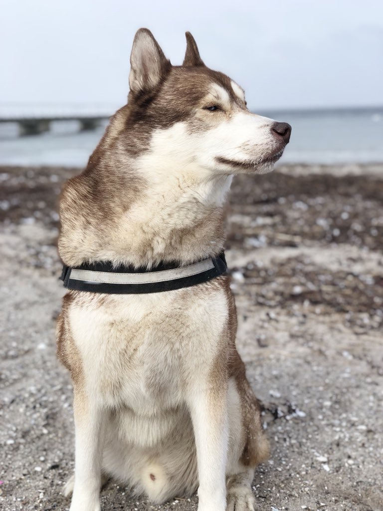 Oskar the huskamute sitting proudly on the beach looking unphased by the snow.
